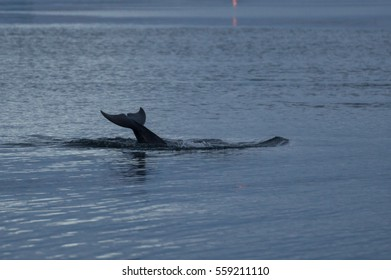 A dolfin's tail above the water after a jump in the sea in Scotland