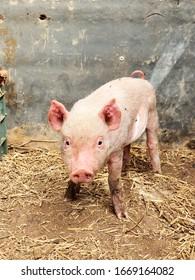 Dolittle pig un a pigsty