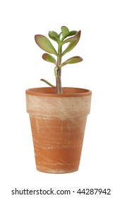 Dollar plant (Crassula ovata) known also as jade plant or money tree.