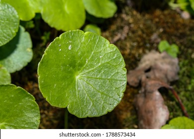 Dollarweed (Hydrocotyle umbellata) - also known as pennywort - is an edible perennial weed that grows in aquatic environment. It is easy to identify this edible plant while foraging by its shape.