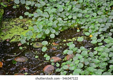 dollarweed and moss in tiny stream