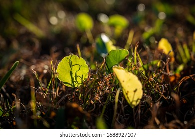 Dollarweed Plants Protruding Through The Rich Soil & Brown Grass In The Morning Sunlight At Dawn