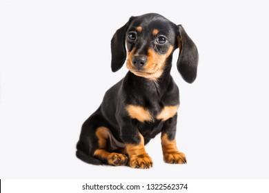 Dolly Dachshund puppy