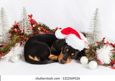Dolly Dacshund christmas puppy