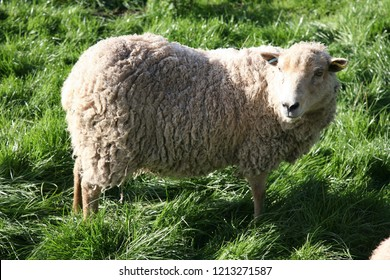 Dolly the sheep look-a-like