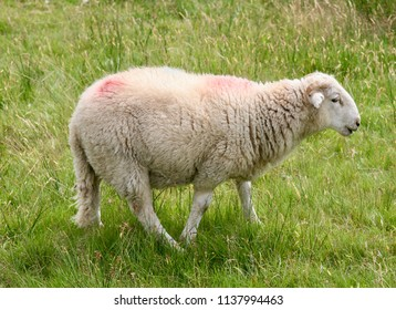 Dolly the sheep on walkabouts in the meadow