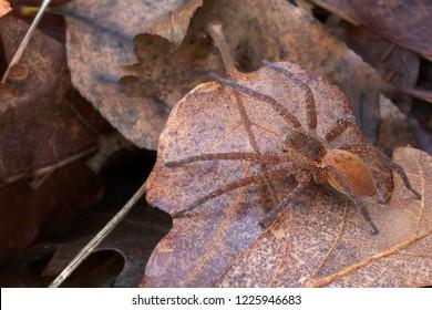 Dolomedes sp, probably plantarius orange. Pisauridae. Aka fishing, raft, dock or wharf spider. Italy.