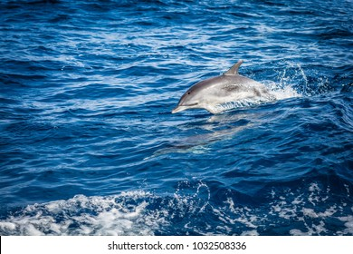 Dolphin in the Atlantic Ocean
