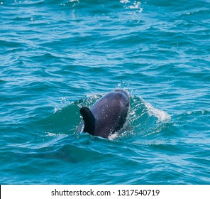 Dolphin in Bay of Islands, New Zealand