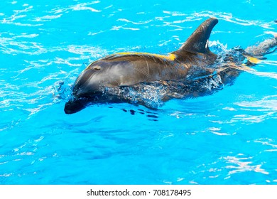 Dolphin catches and eats the fish. Glad beautiful dolphin smiling in blue swimming pool water on clear sunny day.