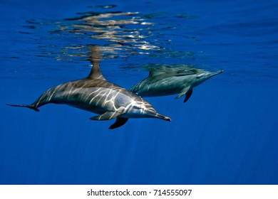 Dolphin Close to you while swimming in the deep blue sea