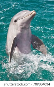 Dolphin dancing in the Caribbean