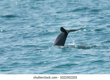 Dolphin diving indise the water with tail up.