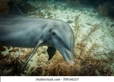 Dolphin diving under water in the Caribbean