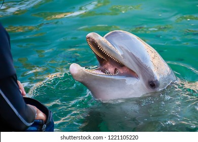 Dolphin eating with two fish in mouth