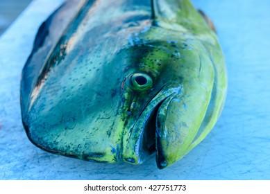 Dolphin fish, Mahi Mahi, Dorado