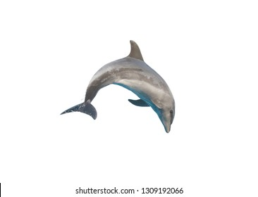 Dolphin isolated on white background