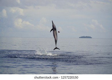 dolphin jumping at the coast of rabaul, papua new guinea