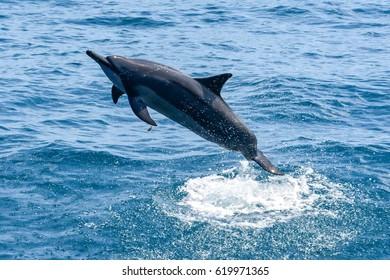 Dolphin jumping in the lagoon - Stenella longirostris