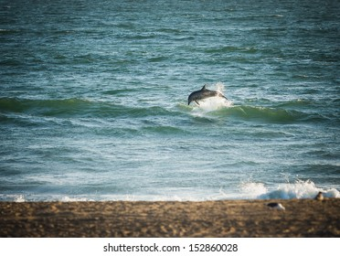 Dolphin jumping out of the ocean at Sunset Beach, California