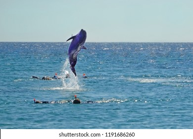 Dolphin jumping out of the Red sea near divers. Snorkeling in Dolphin Reef, Israel.