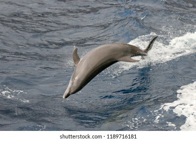 Dolphin, jumping out of sea, Tenerife, Canary Islands