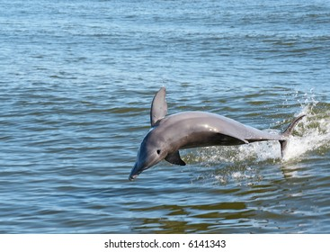 Dolphin jumping out of the water.