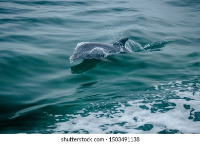 Dolphin jumping out of the water in Biscayne Bay, Florida USA