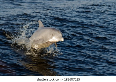 A dolphin jumping out of the water on the Alabama Gulf Coast.