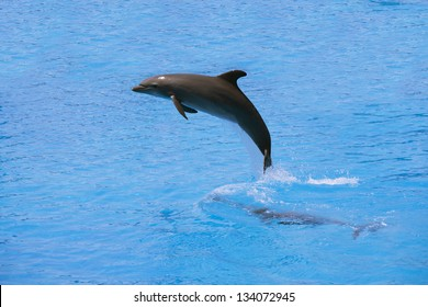 A dolphin jumping in a swimming pool