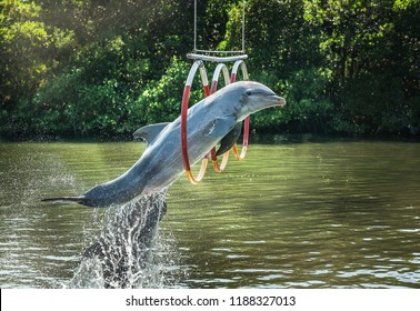 dolphin jumping through hoops in an outdoor pool