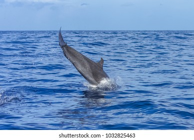 Dolphin jumping in turquoise sea