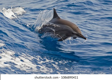 Dolphin Jumping un Red Sea