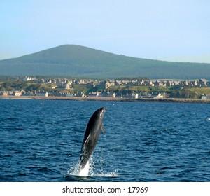 Dolphin Mid-Flight  In The Moray Firth, Scotland