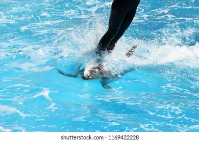 The dolphin moves with great speed in the pool with a trainer on the back