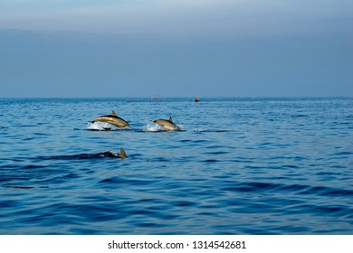 Dolphin play in open ocean morning at Lovina beach, Bali, Indonesia.