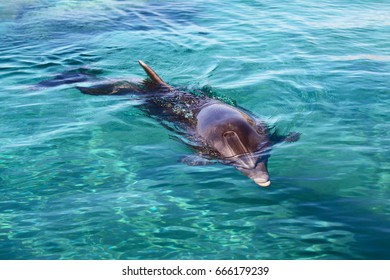 dolphin in Red sea, Eilat . Israel