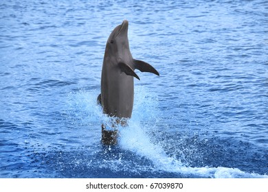 Dolphin showing off in the Caribbean water, Curacao