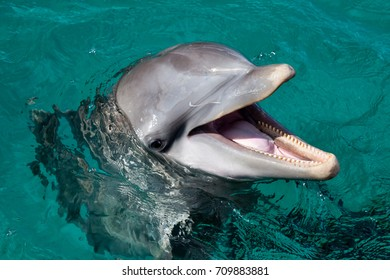 Dolphin smiling in the Caribbean