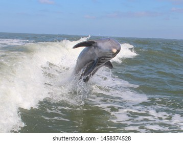 Dolphin smiling while jumping out of water
