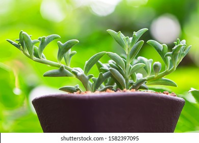 Dolphin Succulents plant (Senecio peregrinus) Dolphin necklace