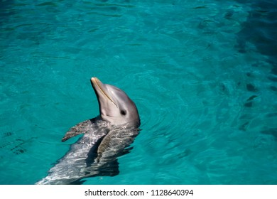 Dolphin Swimming in the Bahamas