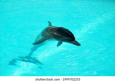 Dolphin swimming at the hotel pool in Bali indonesia