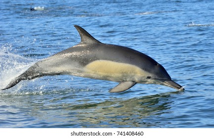 Dolphin, swimming in the ocean. Dolphin swim and jumping from the water. The Long-beaked common dolphin (scientific name: Delphinus capensis) in atlantic ocean.