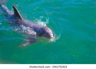 dolphin-swims-sea-close-head-260nw-19617