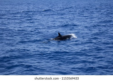 Dolphin watching in Azores