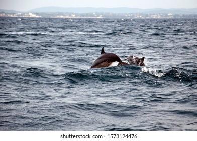 Dolphin watching at trincomalee Sri Lanka, Trincomalee is a port city on the northeast coast of Sri Lanka. Set on a peninsula. Pic – 31st May 2015