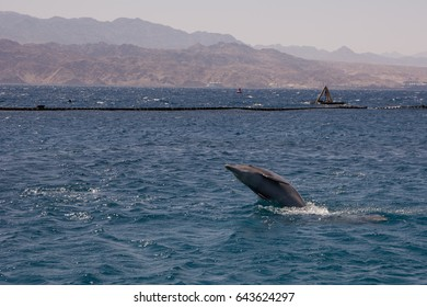 dolphine played in Red sea, Eilat Israel