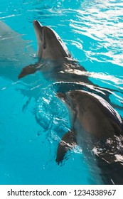 Dolphins. Beautiful dolphins in a blue swimming pool water on a clear sunny day.  Dolphin swimming in the clear blue water of the pool closeup.