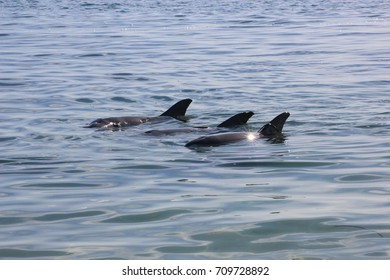 Dolphins coming in for their regular feed.